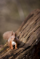 Red squirrel on a tree trunk