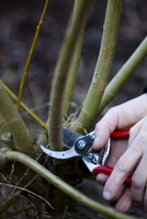 Close up of a man hands pruning a willow twig