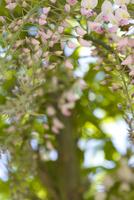 Close up of wisteria blossom - Wisteria japonica