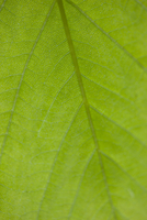Extreme close up of a green leaf