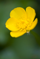 Close up of a buttercup blossom - Ranunculus