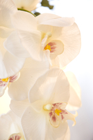 Close up of white orchid blossom - Orchidaceae