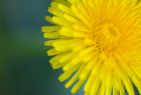 Extreme close up of a yellow dandelion flower - Taraxacum