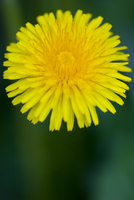 Close up of a yellow dandelion flower - Taraxacum