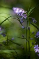 Close up of bluebells - Hyacinthoides non-scripta