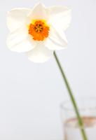 Narcisuss flower, Narcissus Geranium Tazetta