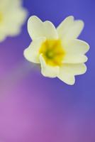 Primrose flowers, Primula vulgaris
