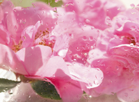 Extreme close up of a pink camellia blossom with rain drops