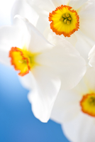 Extreme close up of narcissus flowers, Narcissus Tullybeg