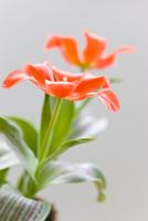 Red Waterlily tulips, Tulipa kaufmanniana