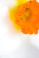 Extreme close up of a narcisuss flower, Narcissus Geranium Tazetta