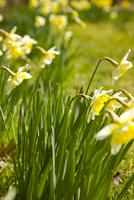 Yellow daffodils, Narcissus pseudonarcissus