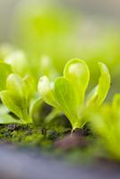Close up of lettuce seedlings