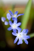 Siberian squill blue flowers, Scilla siberica