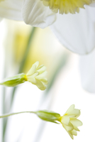 Detail of a daffodil and primrose flowers