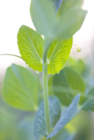 Close up of sweet pea leaves