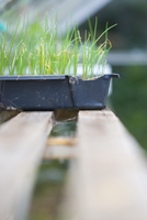 Seedling tray with chives plants