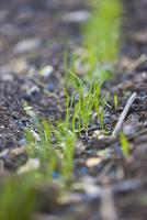 Close up of fennel seedlings with blue specks of slug killer