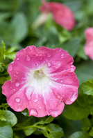 Close up of a pink flower and dew