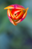 Red and yellow tulip, elevated view