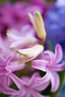 Detail of a pink hyacinth, Hyacinthus orientalis
