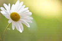 Daisy Flower, Bellis perennis