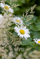 Daisies and Wild Grass