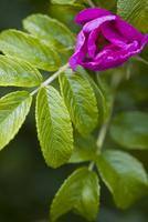 Bright Pink Wild Rose Bud, Rosa acicularis