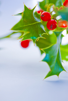 Holly - Close-up view