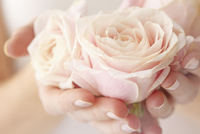 Woman's Hands Holding Pink Rose