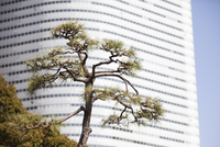Conifer Tree against Building