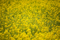 Field of Yellow Rapeseed Flowers