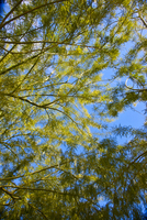 Branches of Mimosa Tree, Close-up view