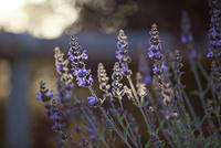 Lavender Blossom