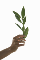 Woman's Hand Holding Green Leafed Twig