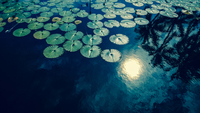 Sun Reflecting on Water with Lotus Leaves