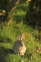 Rabbit ( Oryctolagus cuniculus ) 20025326739| 写真素材・ストックフォト・画像・イラスト素材|アマナイメージズ