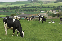 Dairy cattle grazing in field in front of farmstead, Northumberland