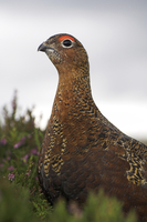 Red Grouse on Heather in Flower ( Lagorus lagopus )