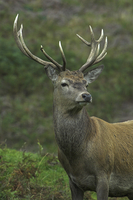 Red Deer Doe in Rutting Season , Perthshire
