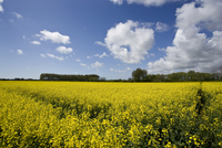 A Rapeseed Field in Sussex