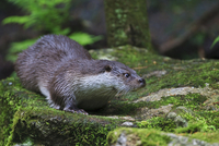 Germany, European otter (Lutra lutra)
