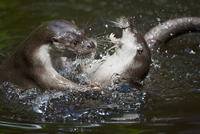Germany, European Otters (Lutra lutra)