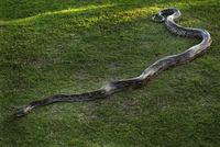 Indonesia, Bali, Python (Pythoninae)