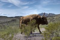 USA, Texas, Dallas, Texas Longhorn Cattle (Bos taurus)