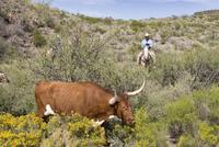 USA, Texas, Dallas, Cowboy and Texas Longhorn Cow (Bos taurus) 20025327624| 写真素材・ストックフォト・画像・イラスト素材|アマナイメージズ