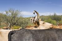 USA, Texas, Dallas, Cowboy and Texas Longhorn Cattles (Bos taurus) 20025327625| 写真素材・ストックフォト・画像・イラスト素材|アマナイメージズ