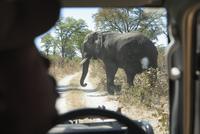 Africa, Botswana, Okavango Delta, Elephant (Loxodonta Africana) crossing road