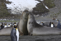 South Georgia, Elephant Seals and King Penguins