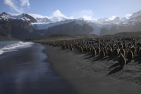 South Georgia, Colony of King Penguins